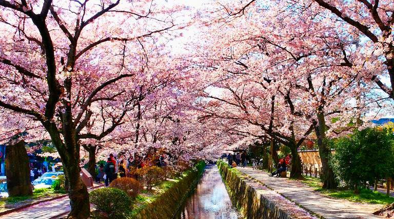 sakura-kyoto-recortada