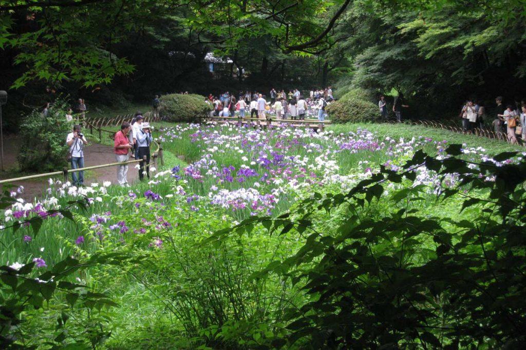 Jardin de lirios del santuario Meiji