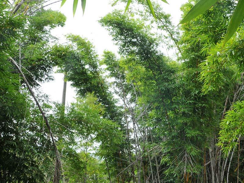 Bambú flexando