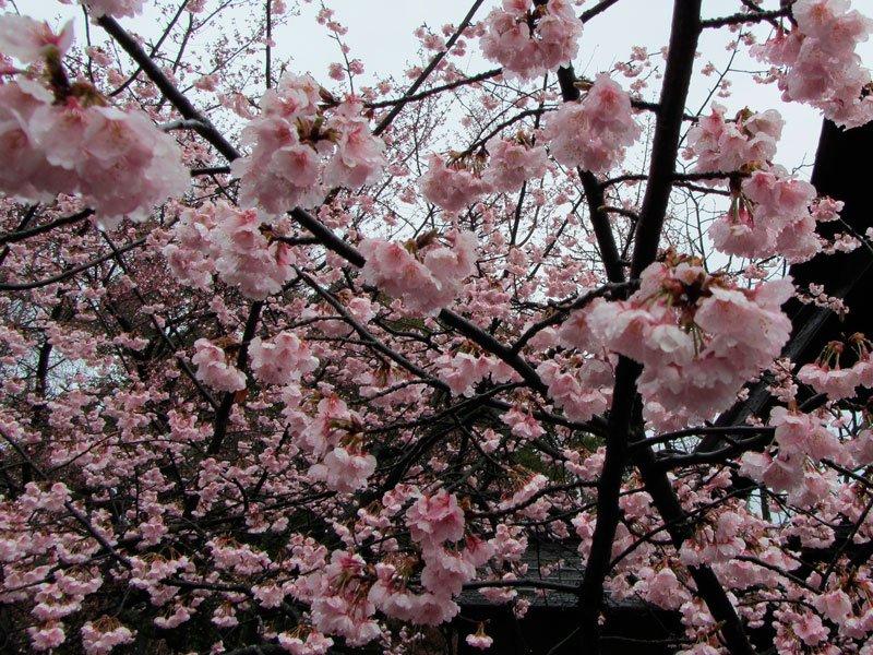 Sakura jardines de Shosei-en Kyoto