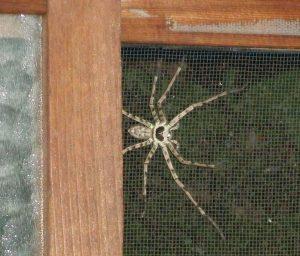 Araña enorme en mi casa de Kyoto