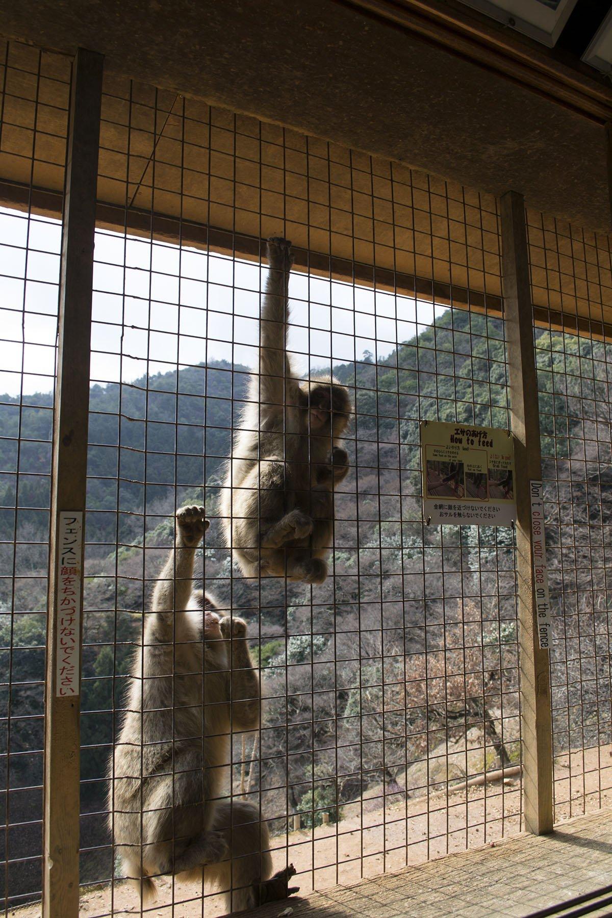Alimentar a los monos en Kyoto