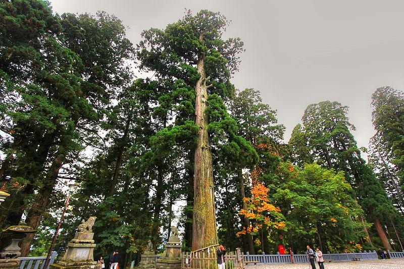 Árboles centenarios en el santuario Togakushi