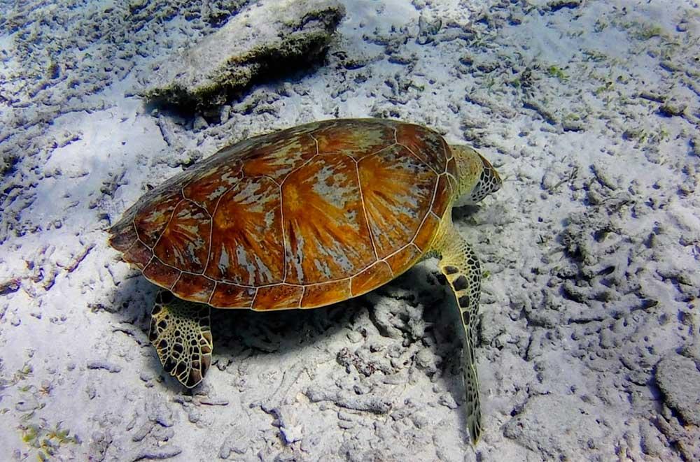 Tortuga marina en el viaje Japón Salvaje